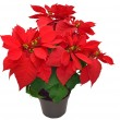 Red poinsettia — Stock Photo