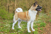 Akita dog — Stock Photo