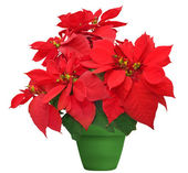 Beautiful poinsettia — Stock Photo
