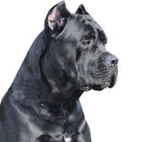 Cane corso Italiano — Stock Photo