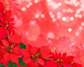 Christmas postcard from poinsettias — Stok fotoğraf