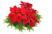 Christmas tree branch with red poinsettia — Stock Photo