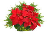 Green basket with red poinsettia and christmas tree branch — Stock Photo