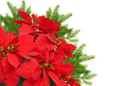 Red poinsettia and christmas tree branch — Stock Photo