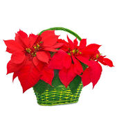 Red poinsettia in basket — Stock Photo
