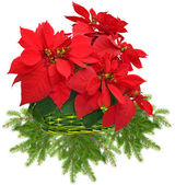 Red poinsettia in green basket and christmas tree branch — Stock Photo