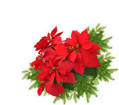 Red poinsettia with christmas tree branch — Stock Photo