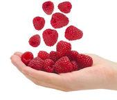 Ripe raspberries in a palm — Stock Photo