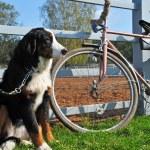 Big dog keep watch and warding the bike — Stock Photo #8915957