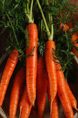 Bunch of fresh carrots — 图库照片