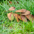 Autumn leafs on green grass — Stockfoto