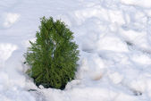 Small spruce in the winter woods — Stock Photo