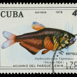 CUBA-CIRC1978: stamp printed in Cubshows fish Hiphessobrypon Flammeus, circ1978 — Stock Photo #20843525