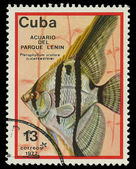 CUBA - CIRCA 1977: A stamp printed in Cuba shows fish Pterophyllum scalare , circa 1977 — Stock Photo