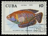 CUBA-CIRCA 1978: A stamp printed in Cuba shows fish Colisa lalia,circa 1978 — Stock Photo