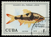 CUBA-CIRCA 1978: A stamp printed in Cuba shows fish Barbus Arulios, circa 1978 — Stock Photo