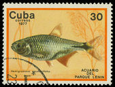 CUBA-CIRCA 1977: A stamp printed in Cuba shows fish Hemigrammus caudavittatus, circa 1977 — Stock Photo