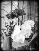Orchids on window sill, black and white photo — Stock Photo
