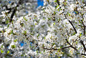 Spring blossom: branch of a blossoming apple tree on garden background — Stock Photo