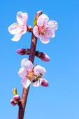 Melocotonero en flor en primavera. abeja recoge miel de una flor — Foto de Stock