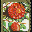 CUBA - CIRCA 1984: post stamp printed in Cuba shows image of brownea grandiceps (rose of Venezuela or scarlet flame bean) from Caribbean flowers series, Scott catalog 2687 A730 1c, circa 1984 — Stock Photo #29055799