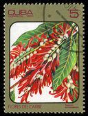 CUBA - CIRCA 1984: post stamp printed in Cuba shows image of triplaris surinamensis from Caribbean flowers series, Scott catalog 2689 A730 5c, circa 1984 — Stock Photo