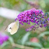 Black-veined White butterfly, Aporia crataegi — Stock Photo