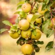 Red apples on apple tree branch, old color image style — Stock Photo