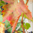 Stock Photo: Ripe cabernet sauvignon grapes on vine in autumn