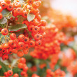 Viburnum berries ripen on bush, shallow depth of field — Stock Photo #32433659