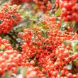 Viburnum berries ripen on the bush, shallow depth of field — Stock Photo