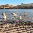 Swans on the Vltava River, Prague, Shallow depth of field — Stock Photo #43758467