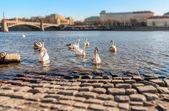 Swans on the Vltava River, Prague, Shallow depth of field — Stock Photo