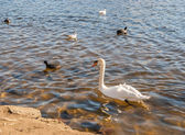 Vilda fåglar på sjön — Stockfoto