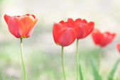 Bright red tulip flower blurred in background. — Stock Photo