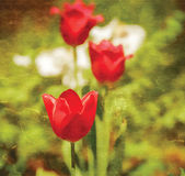 Textured old paper background with red tulips — Stock Photo