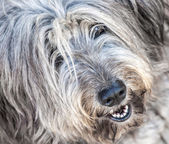 Portrait of shaggy gray dog thrown in the street — Stock Photo