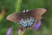 Black Swallowtail Butterfly — Stockfoto