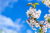 White Blossom With Blue Sky — Stock Photo