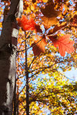 Autumn leaves with trees — Stock Photo
