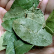 Coca leaves — Stock Photo