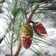Cones in a pine tree with snow and ice — Stock Photo #37709033