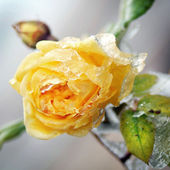 Yellow flower with ice and snow (winter picture) — Foto Stock