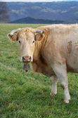 Front image of a cow grazing in the meadow — Stock Photo