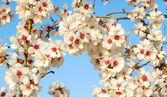 Almond flowers — Photo