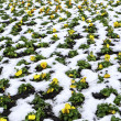 Many yellow flowers in snow — Stock Photo #41151905