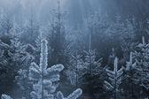 Floresta de abetos congelado — Fotografia Stock