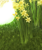 Narcisses with space — Stock Photo