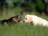 Labrador puppy and cat love and friendship — Stock Photo