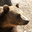 Stock Photo: Grizzly bear head right profile